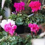 江南市の花屋アイビーのシクラメン