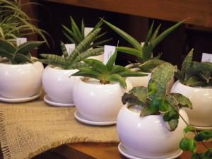 江南市の花屋アイビーのサンセベリア