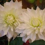 江南市の花屋アイビーのヘアーオーナメント
